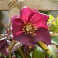 Christmas Rose_Orientalis