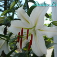White_lily