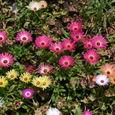 Livingstone_daisy