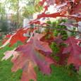 Scarlet_Oak